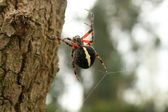 Orb Weaver Spider — Stock Photo