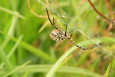 Striped Orb Weaver Spider — Stock Photo