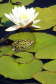 Frog on Lily Pad — Stock Photo