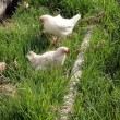 White Chickens in a Yard — Stock Photo