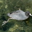 American Coot Swimming — Stock Photo