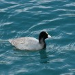 Coot on Lake Cuicocha — Stock Photo