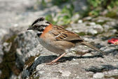Rufous Collared Sparrow on a Ledge — Stock Photo