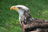 Female Immature Bald Eagle — Stock Photo