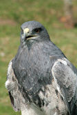 Black Chested Buzzard Eagle — Stock Photo