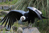 Male Andean Condor With Spread Wings — Stockfoto