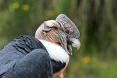 Male Andean Condor — Stock Photo