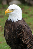 American Bald Eagle on a Roost — Photo