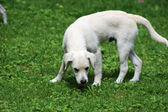 White Puppy — Stock Photo