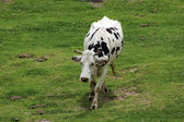 Holstein Cow Walking in a Meadow — Stock Photo