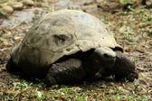 Giant Tortoise — Stockfoto