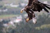Immature Bald Eagle Landing — Stock Photo
