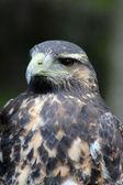 Juvenile Black Chested Buzzard Eagle — Stock Photo