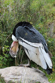 Male Andean Condor Looking Down — Stock Photo