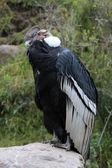 Male Andean Condor on a Rock — Stock Photo