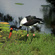 Saddle Billed Stork — Stock Photo #51763599