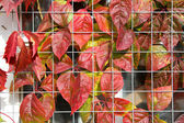 Red grape leaves — Stock Photo