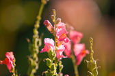 Pink flowers — Zdjęcie stockowe