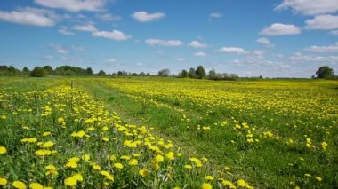 Road in the dandelion field — Video Stock
