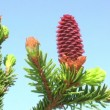 Red pinecone — Stock Video