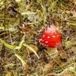Stock Video: Fly agaric