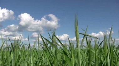 Grama do trigo jovem na primavera — Vídeo stock