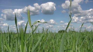 Erba di grano giovane sulla primavera — Video Stock