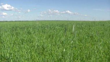 Campo de trigo verde, verão — Vídeo stock