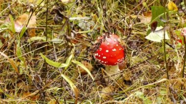 Fly agaric — Stock Video