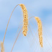 Close-up of wheat on sky background — Stock Photo