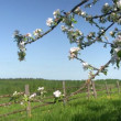 Apple blossom time — Stock Video