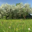 Blossom apple tree — Stock Video