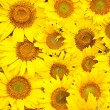 Sunflowers, oil and seeds — Stock Photo