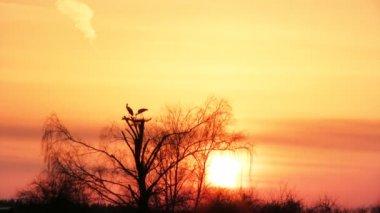 Pair of white storks at sunset — Stock Video