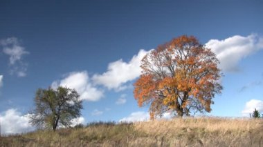 Old oak tree in autumn finery — Stock Video