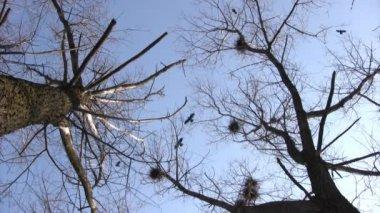 Silhouet van het vliegen kraaien — Stockvideo