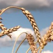 Stock Video: Close-up of stalk of wheat