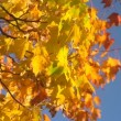 Autumn leaves against  blue sky — Stock Video