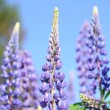 Wild lupine flowers - Stock Photo
