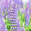 Wild lupine flowers — Stock Video