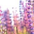 Stock Video: Wild lupine flowers