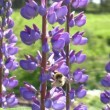 Honey bee on  lupine wildflower - Stock Photo