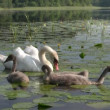 Swans family swimming - Stock Photo