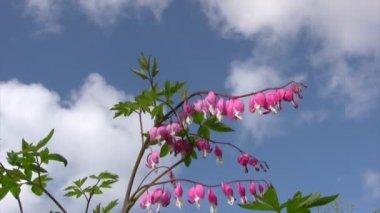 Bleeding hearts flowers — Stock Video