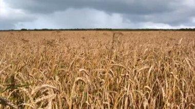Wheat field — Stock Video