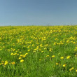 Field of dandelions - Foto de Stock