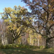 Stock Video: Old oak trees in autumn finery