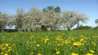 Apple blossom garden — Stock Video