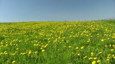 Field of dandelions — Vidéo