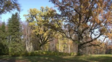 Old oak trees in autumn finery — Stock Video